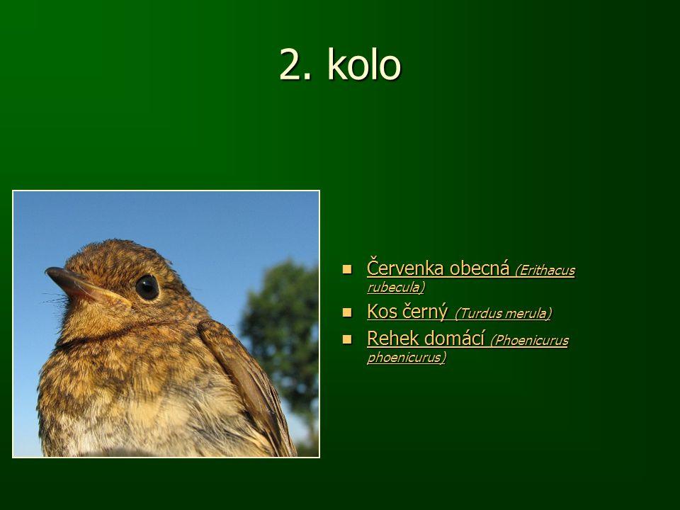 2. kolo Červenka obecná (Erithacus rubecula) Červenka obecná (Erithacus rubecula) Červenka obecná (Erithacus rubecula) Červenka obecná (Erithacus rube
