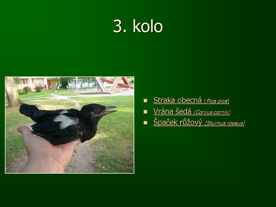 3. kolo Straka obecná (Pica pica) Straka obecná (Pica pica) Straka obecná (Pica pica) Straka obecná (Pica pica) Vrána šedá (Corvus cornix) Vrána šedá