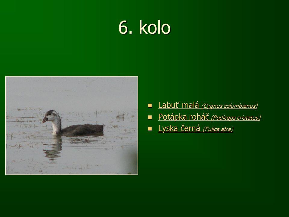 6. kolo Labuť malá (Cygnus columbianus) Labuť malá (Cygnus columbianus) Labuť malá (Cygnus columbianus) Labuť malá (Cygnus columbianus) Potápka roháč