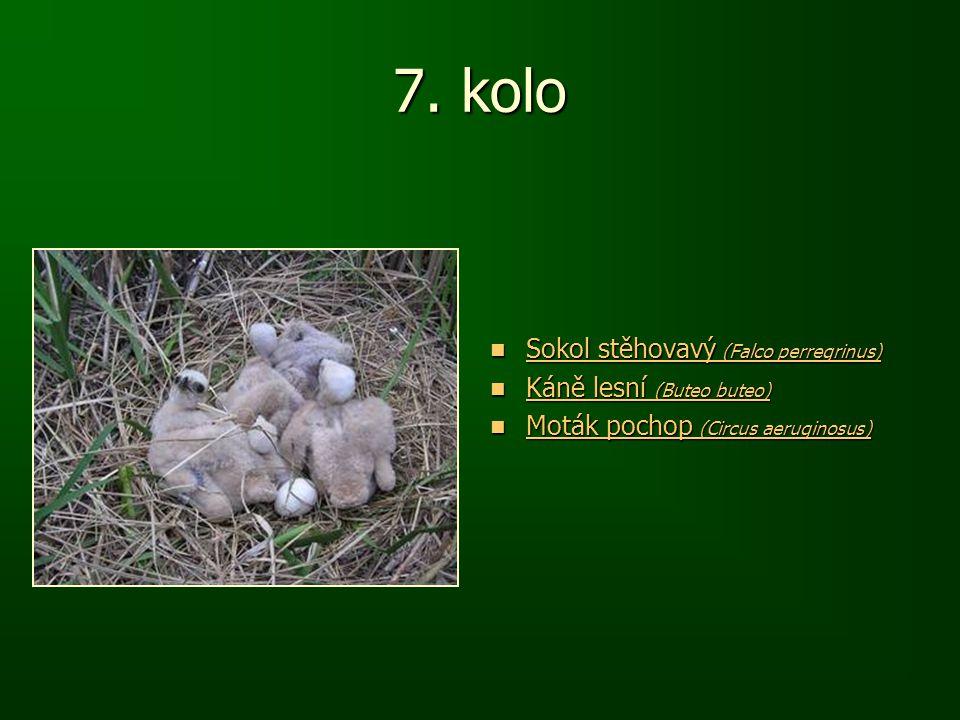 7. kolo Sokol stěhovavý (Falco perregrinus) Sokol stěhovavý (Falco perregrinus) Sokol stěhovavý (Falco perregrinus) Sokol stěhovavý (Falco perregrinus