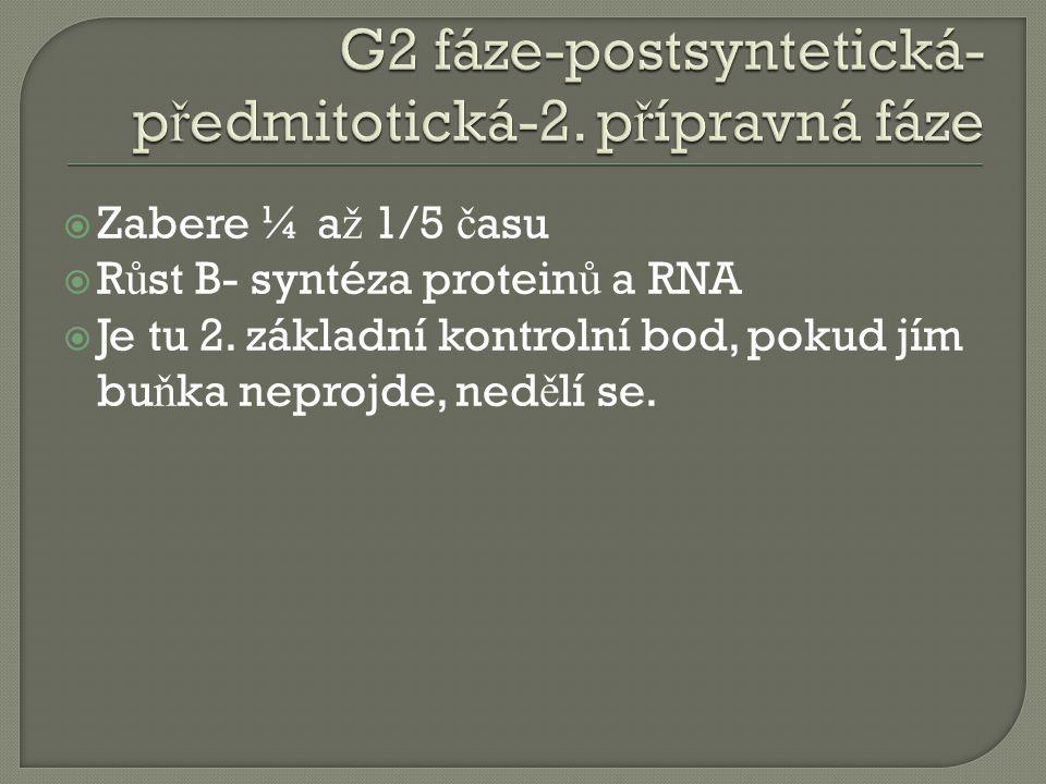  Zabere ¼ a ž 1/5 č asu  R ů st B- syntéza protein ů a RNA  Je tu 2.