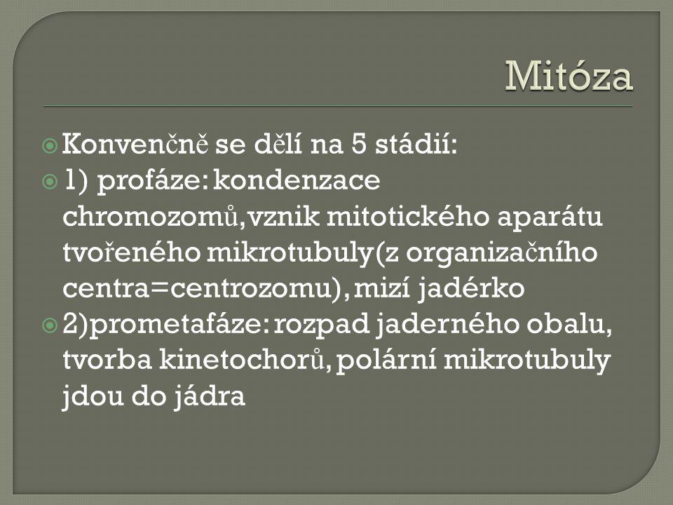  Konven č n ě se d ě lí na 5 stádií:  1) profáze: kondenzace chromozom ů,vznik mitotického aparátu tvo ř eného mikrotubuly(z organiza č ního centra=centrozomu), mizí jadérko  2)prometafáze: rozpad jaderného obalu, tvorba kinetochor ů, polární mikrotubuly jdou do jádra