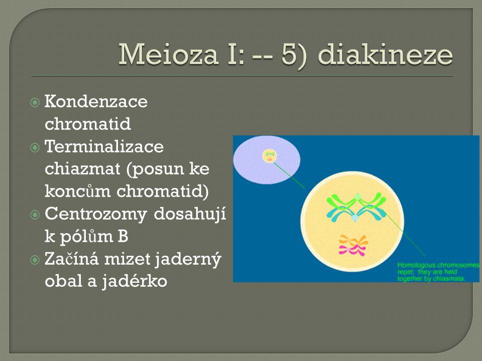  Kondenzace chromatid  Terminalizace chiazmat (posun ke konc ů m chromatid)  Centrozomy dosahují k pól ů m B  Za č íná mizet jaderný obal a jadérko