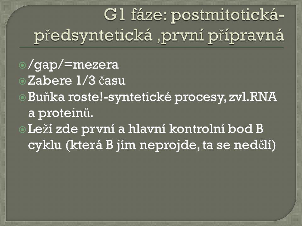  /gap/=mezera  Zabere 1/3 č asu  Bu ň ka roste!-syntetické procesy, zvl.RNA a protein ů.