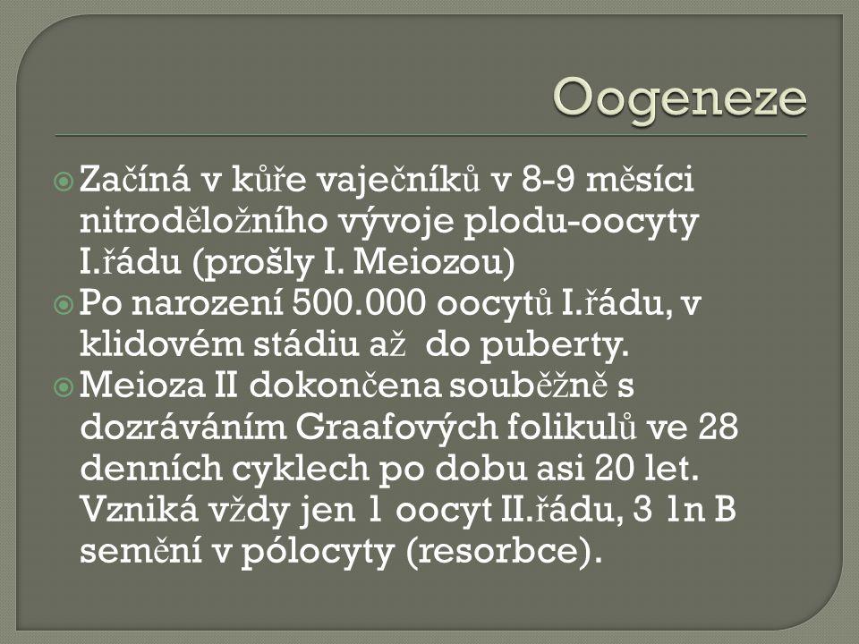  Za č íná v k ůř e vaje č ník ů v 8-9 m ě síci nitrod ě lo ž ního vývoje plodu-oocyty I.