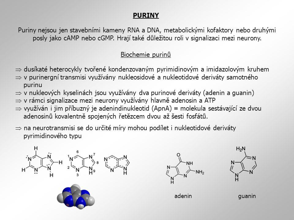  dusíkaté heterocykly tvořené kondenzovaným pyrimidinovým a imidazolovým kruhem  v purinergní transmisi využívány nukleosidové a nukleotidové deriváty samotného purinu  v nukleových kyselinách jsou využívány dva purinové deriváty (adenin a guanin)  v rámci signalizace mezi neurony využívány hlavně adenosin a ATP  využíván i jim příbuzný je adenindinukleotid (ApnA) = molekula sestávající ze dvou adenosinů kovalentně spojených řetězcem dvou až šesti fosfátů.
