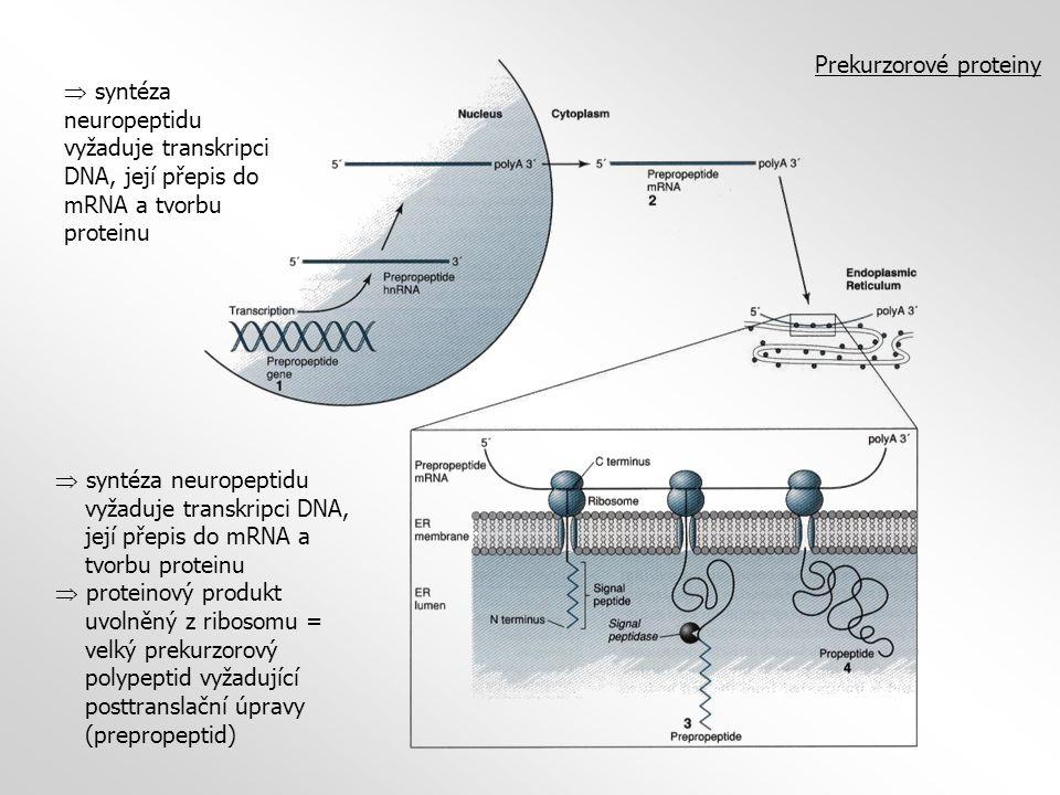 Prekurzorové proteiny  syntéza neuropeptidu vyžaduje transkripci DNA, její přepis do mRNA a tvorbu proteinu  proteinový produkt uvolněný z ribosomu = velký prekurzorový polypeptid vyžadující posttranslační úpravy (prepropeptid)  syntéza neuropeptidu vyžaduje transkripci DNA, její přepis do mRNA a tvorbu proteinu