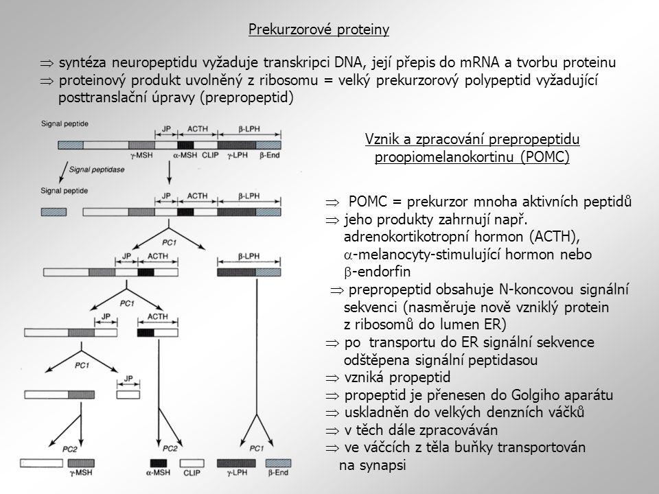 Prekurzorové proteiny  syntéza neuropeptidu vyžaduje transkripci DNA, její přepis do mRNA a tvorbu proteinu  proteinový produkt uvolněný z ribosomu = velký prekurzorový polypeptid vyžadující posttranslační úpravy (prepropeptid)  POMC = prekurzor mnoha aktivních peptidů  jeho produkty zahrnují např.