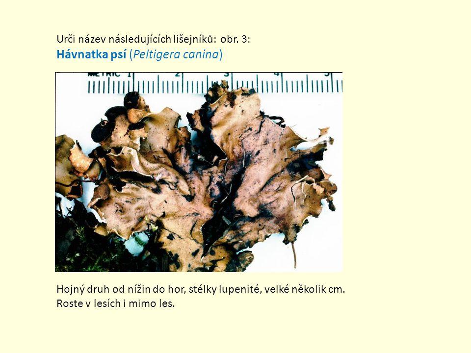 Urči název následujících lišejníků: obr. 3: Hávnatka psí (Peltigera canina) Hojný druh od nížin do hor, stélky lupenité, velké několik cm. Roste v les