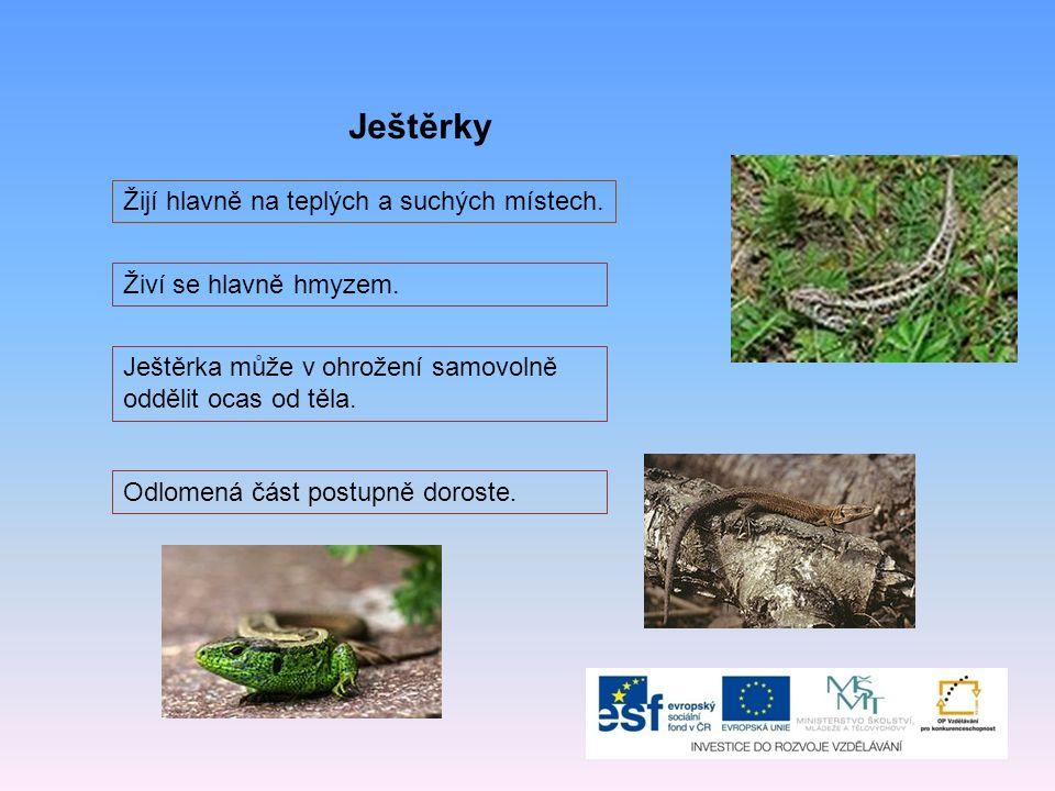 Ještěrky Žijí hlavně na teplých a suchých místech. Živí se hlavně hmyzem. Ještěrka může v ohrožení samovolně oddělit ocas od těla. Odlomená část postu
