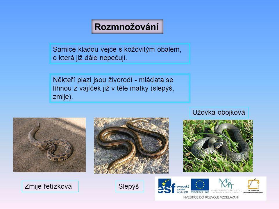 Hadi Hadi jsou obratní lovci, loví hmyz, malé ptáky a drobné savce (myši).