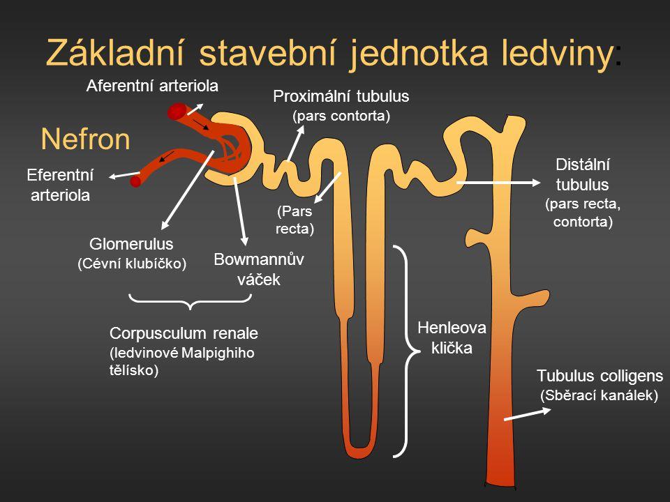 Základní stavební jednotka ledviny: Nefron Glomerulus (Cévní klubíčko) Corpusculum renale (ledvinové Malpighiho tělísko) Proximální tubulus (pars cont