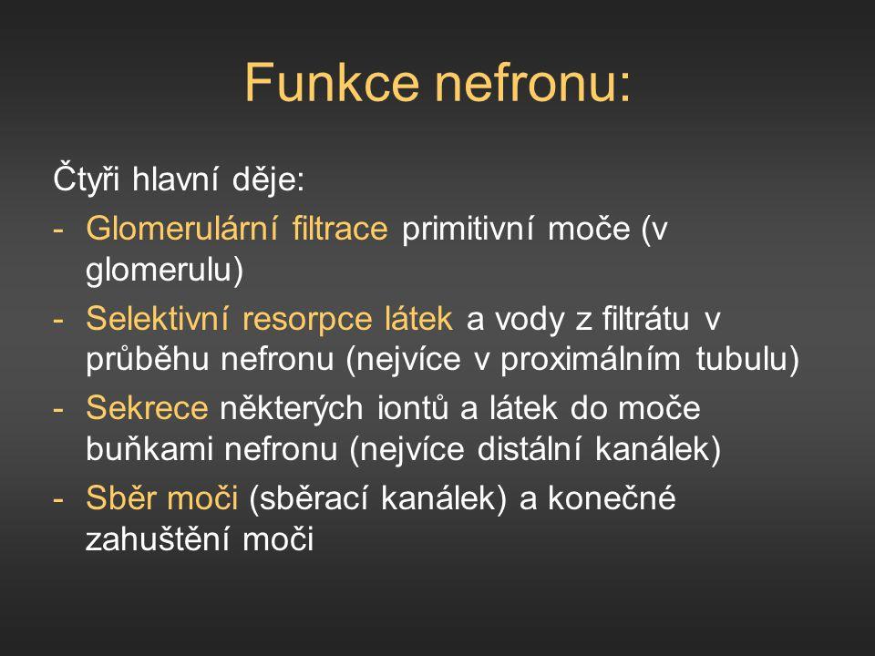 Funkce nefronu: Čtyři hlavní děje: -Glomerulární filtrace primitivní moče (v glomerulu) -Selektivní resorpce látek a vody z filtrátu v průběhu nefronu