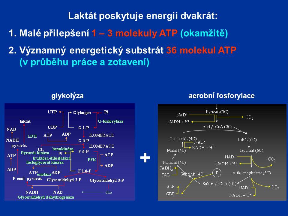Laktát poskytuje energii dvakrát: 1.Malé přilepšení 1 – 3 molekuly ATP (okamžitě) 2.Významný energetický substrát 36 molekul ATP (v průběhu práce a zotavení) + glykolýzaaerobní fosforylace