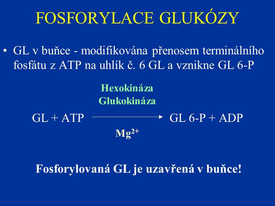 FOSFORYLACE GLUKÓZY GL v buňce - modifikována přenosem terminálního fosfátu z ATP na uhlík č.