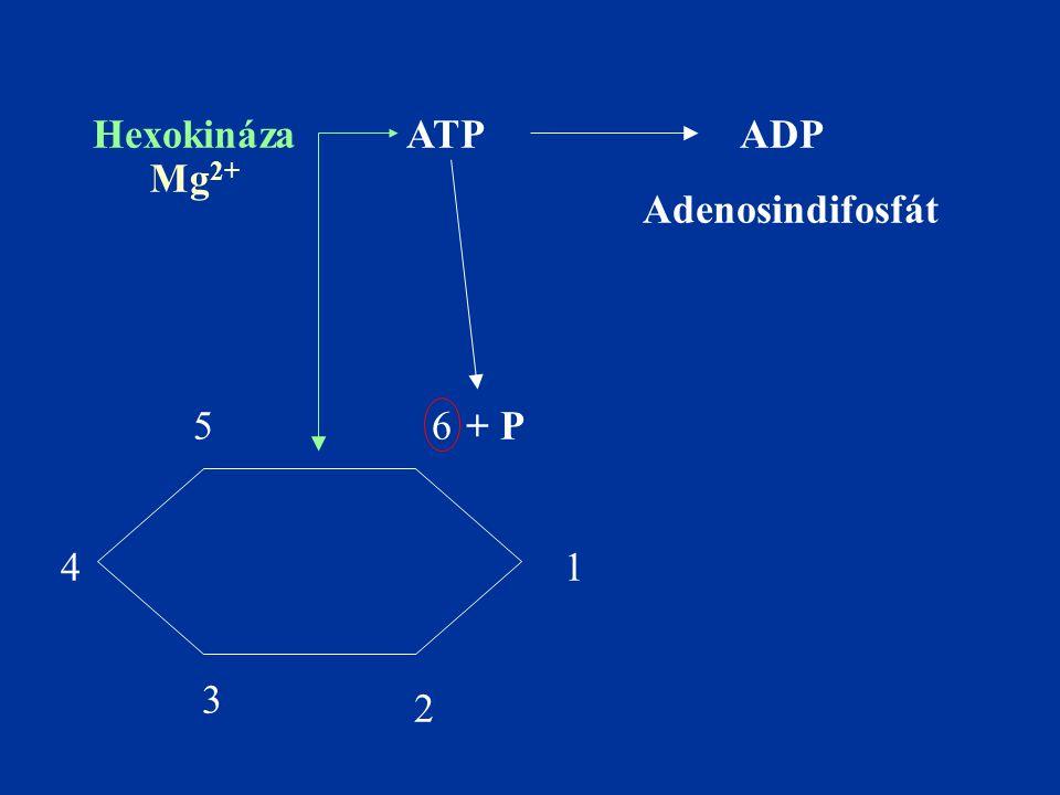 1 2 3 4 56 ATPADP + P Hexokináza Mg 2+ Adenosindifosfát