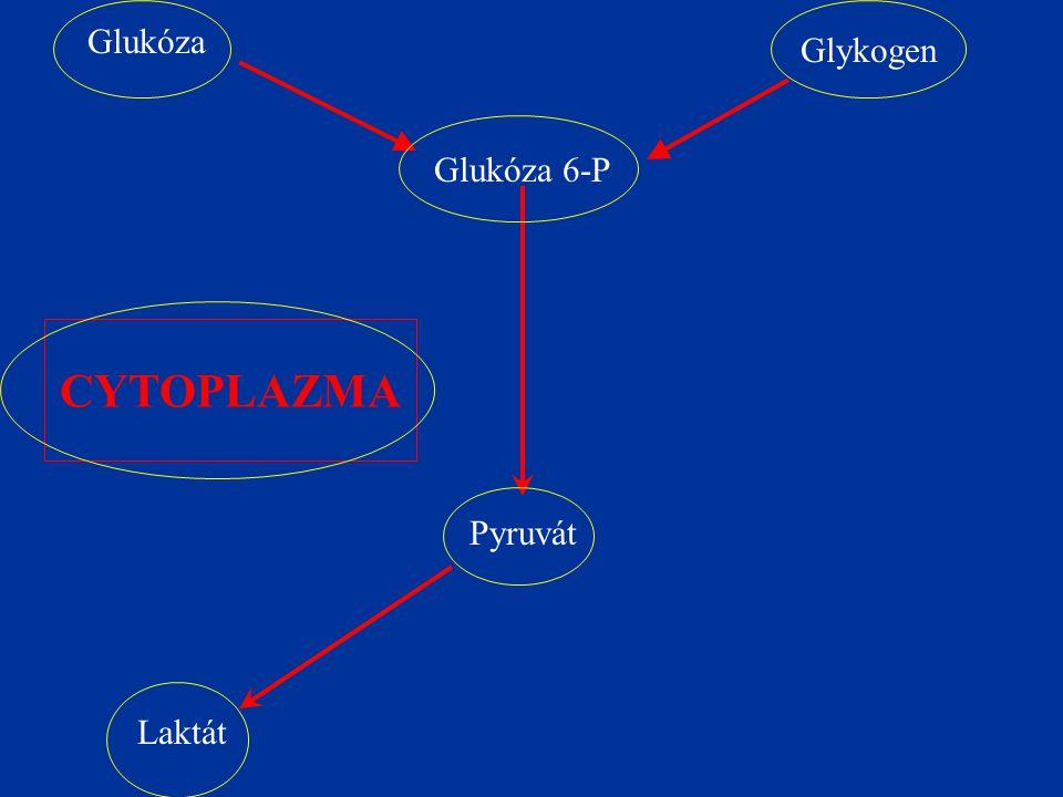 Glukóza Glykogen Glukóza 6-P Pyruvát Laktát CYTOPLAZMA
