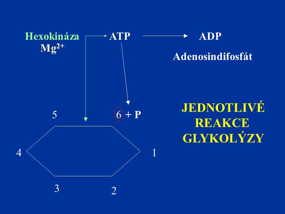 1 2 3 4 56 ATPADP + P Hexokináza Mg 2+ Adenosindifosfát JEDNOTLIVÉ REAKCE GLYKOLÝZY