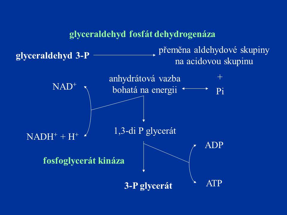 glyceraldehyd 3-P přeměna aldehydové skupiny na acidovou skupinu Pi anhydrátová vazba bohatá na energii NAD + NADH + + H + 1,3-di P glycerát glyceraldehyd fosfát dehydrogenáza + 3-P glycerát ADP ATP fosfoglycerát kináza