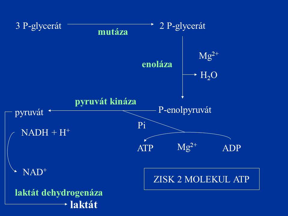 3 P-glycerát2 P-glycerát mutáza P-enolpyruvát enoláza ADPATP Mg 2+ pyruvát H2OH2O pyruvát kináza Mg 2+ laktát laktát dehydrogenáza NADH + H + NAD + Pi ZISK 2 MOLEKUL ATP