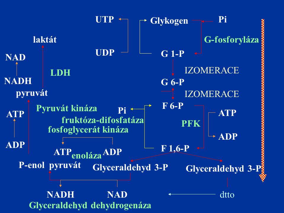 UTP Glykogen Pi UDP G 1-P G-fosforyláza G 6-P ADP ATPIZOMERACE GL hexokináza F 6-P F 1,6-P Glyceraldehyd 3-P IZOMERACE PFK ADP ATP Pi fruktóza-difosfatáza Glyceraldehyd 3-P P-enol pyruvát NADNADH ATPADP fosfoglycerát kináza Glyceraldehyd dehydrogenáza enoláza pyruvát ADP ATP Pyruvát kináza laktát LDH NADH NAD dtto