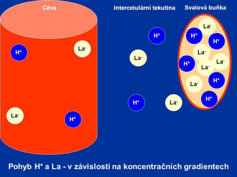 La - H+H+ Svalová buňka Intercelulární tekutinaCéva La - H+H+ H+H+ H+H+ H+H+ H+H+ H+H+ H+H+ H+H+ Pohyb H + a La - v závislosti na koncentračních gradi