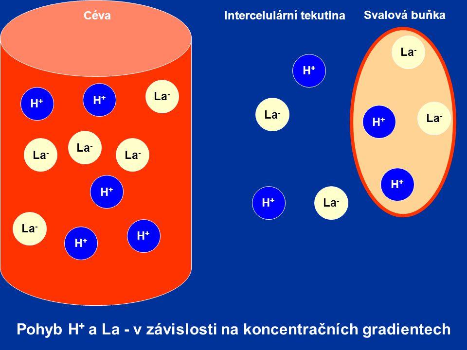 La - H+H+ Svalová buňka Intercelulární tekutinaCéva La - H+H+ H+H+ H+H+ H+H+ H+H+ H+H+ H+H+ H+H+