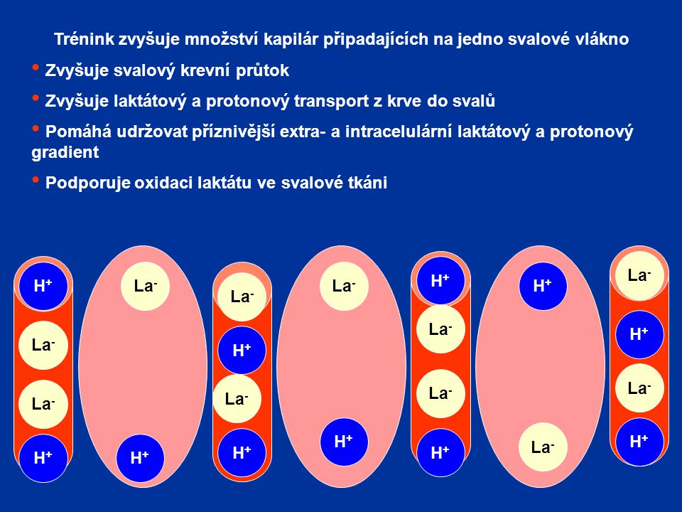 Trénink zvyšuje množství kapilár připadajících na jedno svalové vlákno Zvyšuje svalový krevní průtok Zvyšuje laktátový a protonový transport z krve do