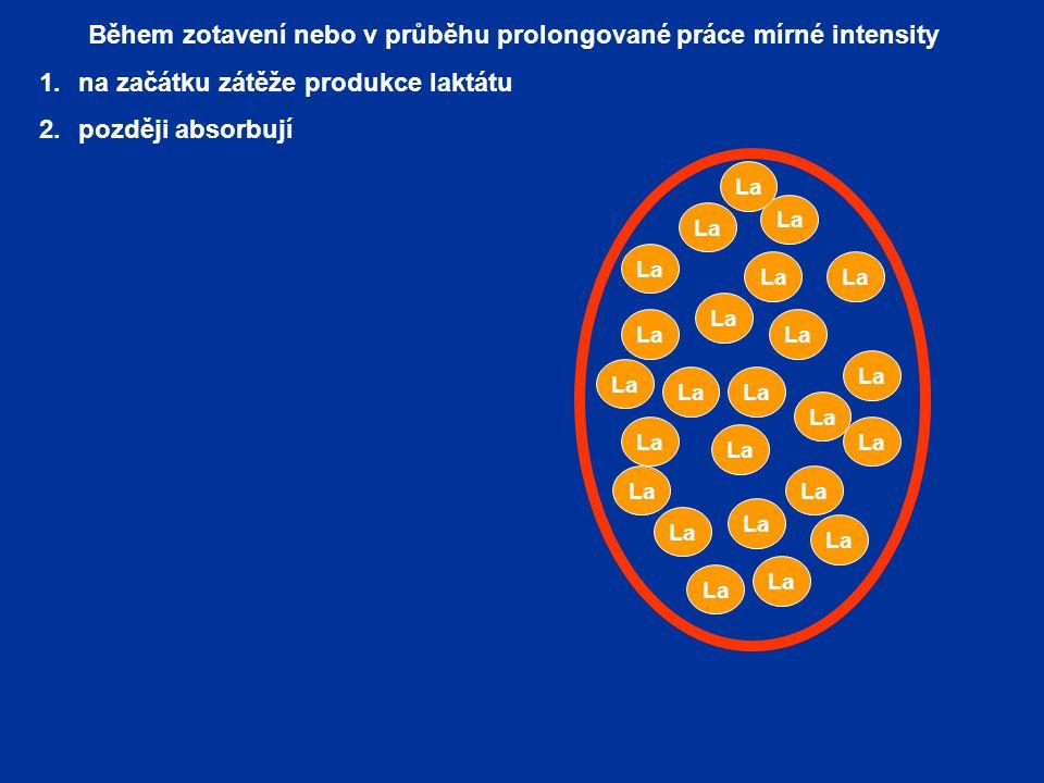 Během zotavení nebo v průběhu prolongované práce mírné intensity 1.na začátku zátěže produkce laktátu 2.později absorbují a intenzivně využívají (oxid