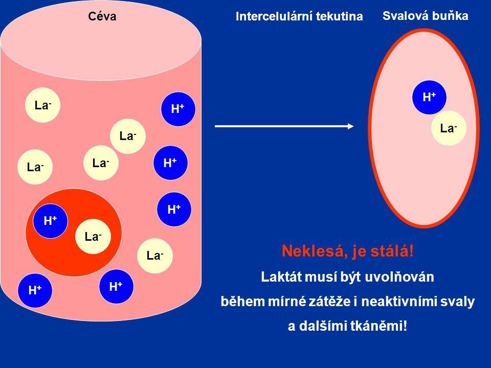 Svalová buňka Intercelulární tekutinaCéva H+H+ H+H+ La - H+H+ H+H+ H+H+ H+H+ H+H+ Neklesá, je stálá! Laktát musí být uvolňován během mírné zátěže i ne