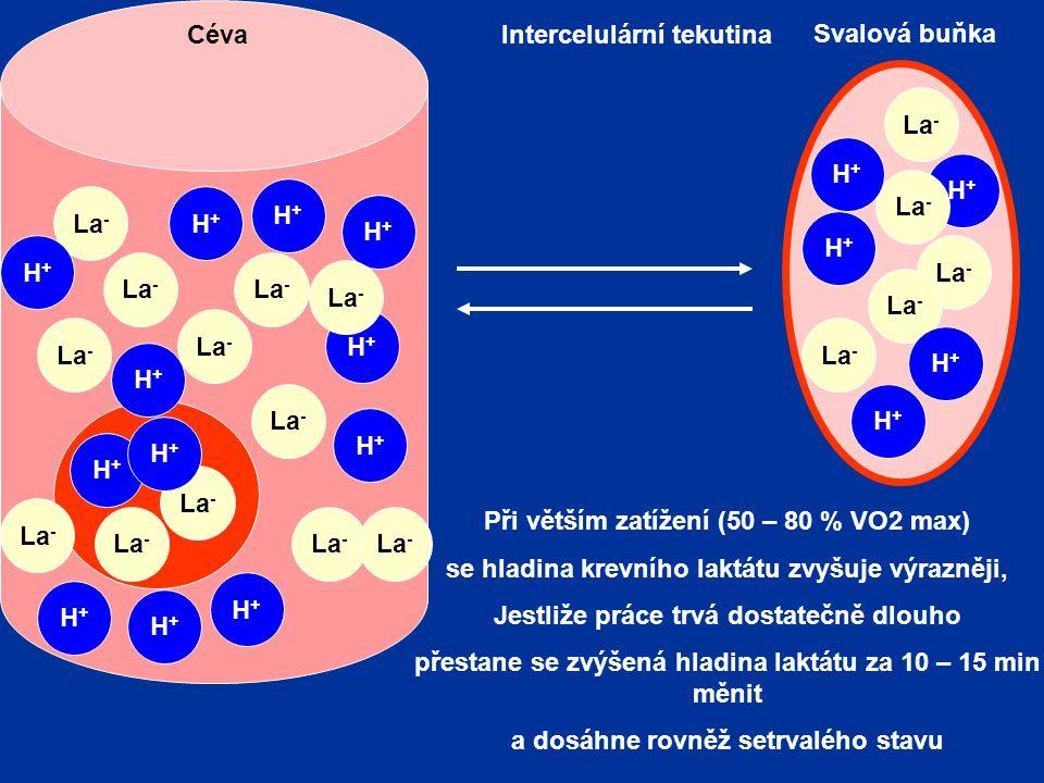 La - H+H+ Svalová buňka Intercelulární tekutinaCéva H+H+ H+H+ La - H+H+ H+H+ H+H+ H+H+ Při větším zatížení (50 – 80 % VO2 max) se hladina krevního laktátu zvyšuje výrazněji, Jestliže práce trvá dostatečně dlouho přestane se zvýšená hladina laktátu za 10 – 15 min měnit a dosáhne rovněž setrvalého stavu H+H+ La - H+H+ H+H+ H+H+ H+H+ H+H+ H+H+ H+H+ H+H+ H+H+