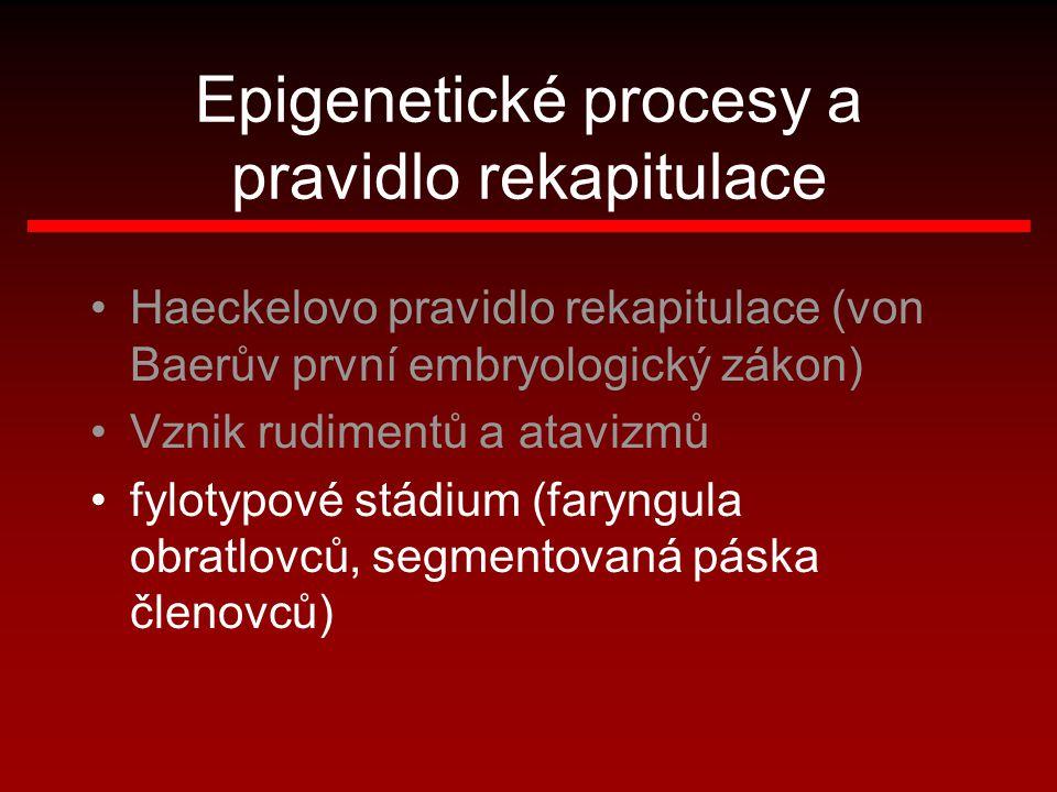 Epigenetické procesy a pravidlo rekapitulace Haeckelovo pravidlo rekapitulace (von Baerův první embryologický zákon) Vznik rudimentů a atavizmů fyloty