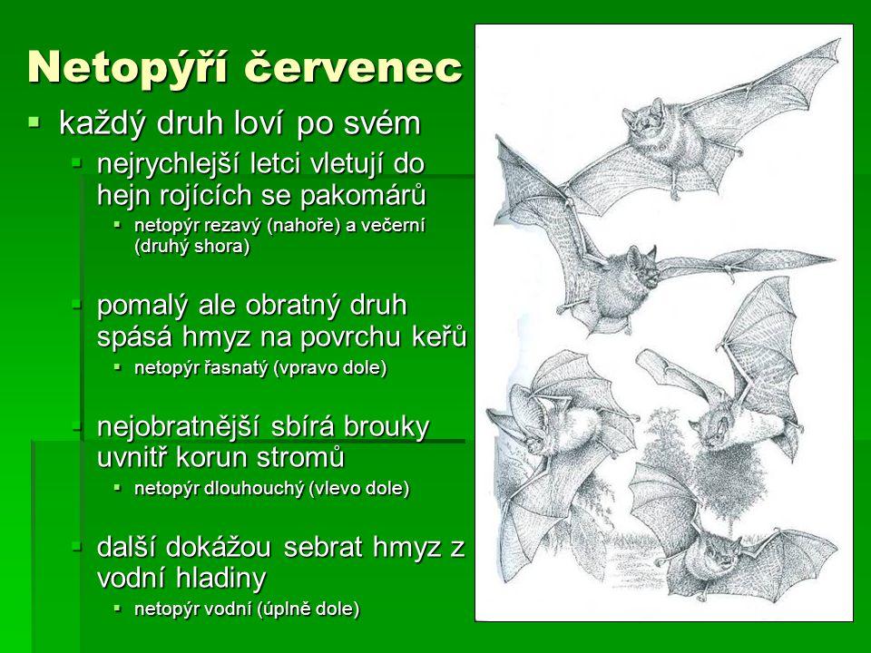 Netopýří červenec  každý druh loví po svém  nejrychlejší letci vletují do hejn rojících se pakomárů  netopýr rezavý (nahoře) a večerní (druhý shora)  pomalý ale obratný druh spásá hmyz na povrchu keřů  netopýr řasnatý (vpravo dole)  nejobratnější sbírá brouky uvnitř korun stromů  netopýr dlouhouchý (vlevo dole)  další dokážou sebrat hmyz z vodní hladiny  netopýr vodní (úplně dole)