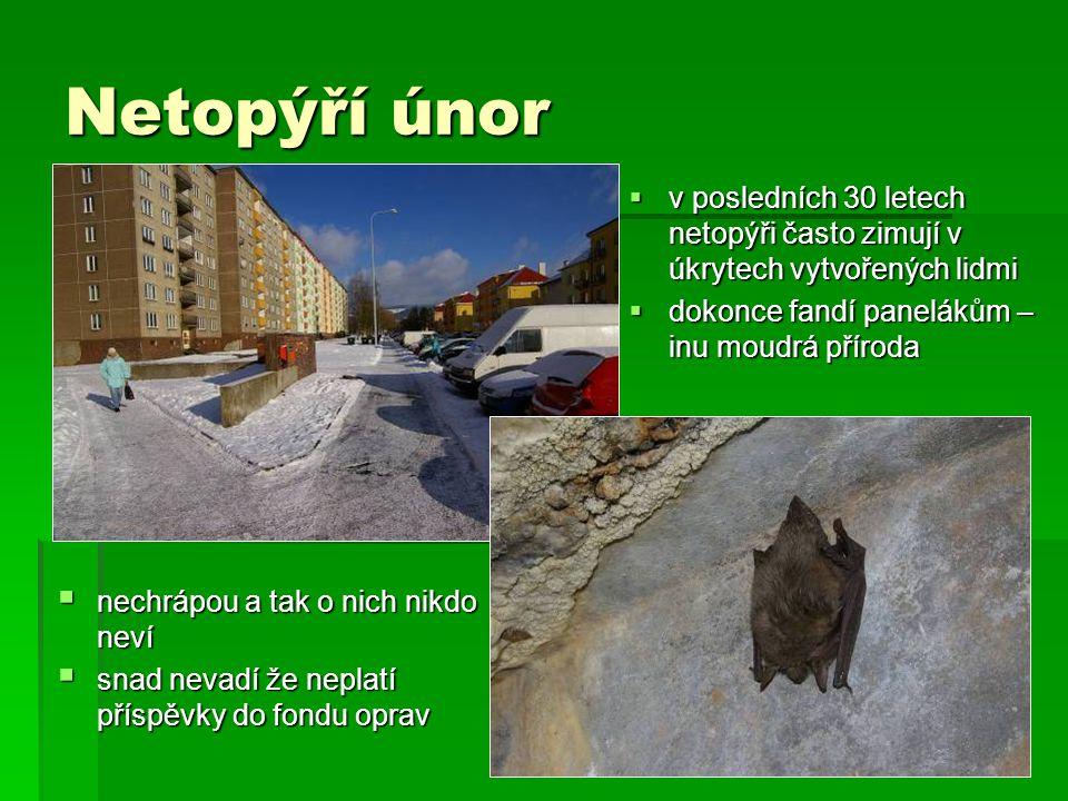 Netopýří únor  v posledních 30 letech netopýři často zimují v úkrytech vytvořených lidmi  dokonce fandí panelákům – inu moudrá příroda  nechrápou a