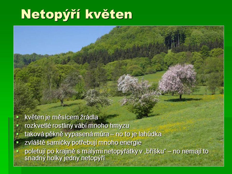 """Netopýří květen  květen je měsícem žrádla  rozkvetlé rostliny vábí mnoho hmyzu  taková pěkně vypasená můra – no to je lahůdka  zvláště samičky potřebují mnoho energie  poletují po krajině s malými netopýřátky v """"bříšku – no nemají to snadný holky jedny netopýří"""