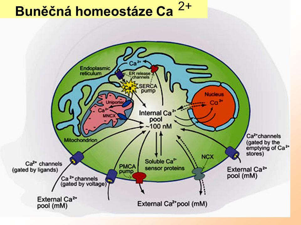 Buněčná homeostáze Ca 2+