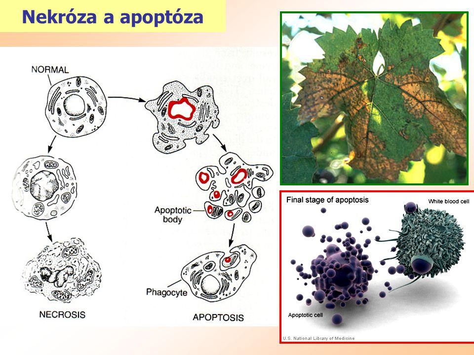 Nekróza a apoptóza