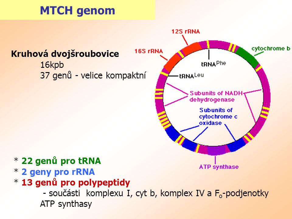 MTCH genom Kruhová dvojšroubovice 16kpb 37 genů - velice kompaktní * 22 genů pro tRNA * 2 geny pro rRNA * 13 genů pro polypeptidy - součásti komplexu