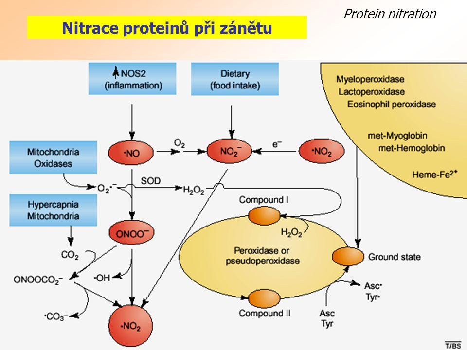 Protein nitration Nitrace proteinů při zánětu