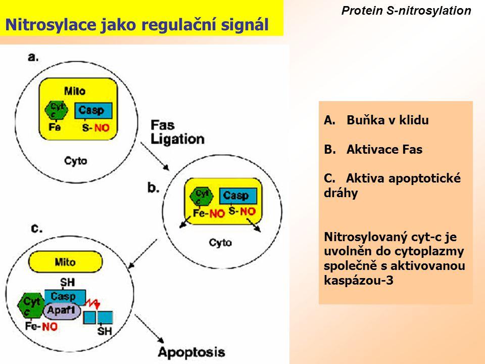 Protein S-nitrosylation Nitrosylace jako regulační signál A. Buňka v klidu B. Aktivace Fas C. Aktiva apoptotické dráhy Nitrosylovaný cyt-c je uvolněn
