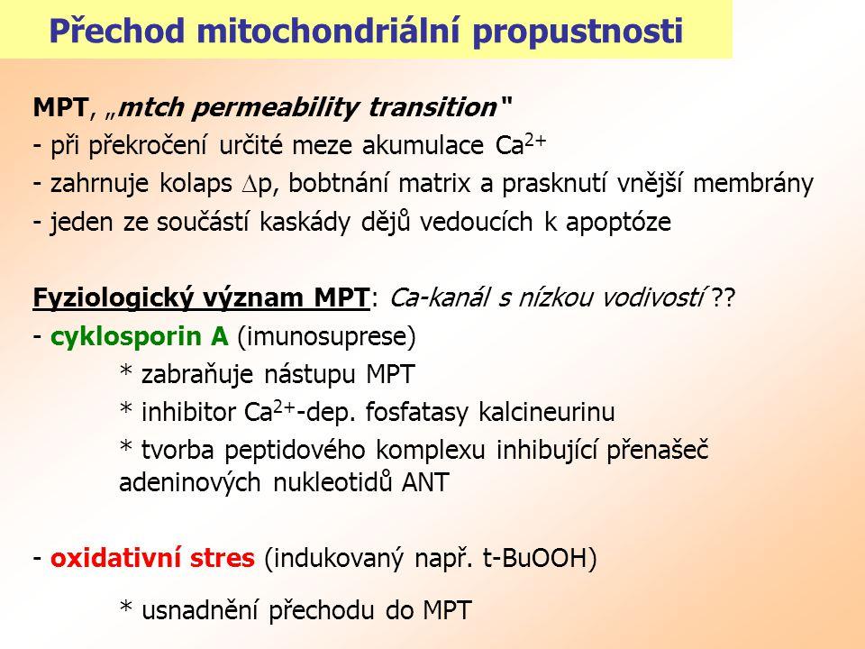 """Přechod mitochondriální propustnosti MPT, """"mtch permeability transition"""" - při překročení určité meze akumulace Ca 2+ - zahrnuje kolaps  p, bobtnání"""