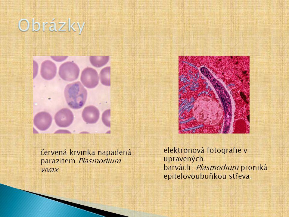 červená krvinka napadená parazitem Plasmodium vivax elektronová fotografie v upravených barvách: Plasmodium proniká epitelovoubuňkou střeva.