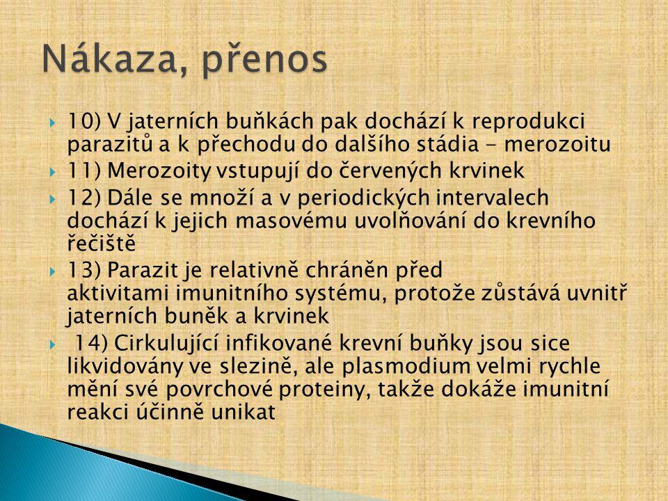  10) V jaterních buňkách pak dochází k reprodukci parazitů a k přechodu do dalšího stádia - merozoitu  11) Merozoity vstupují do červených krvinek 