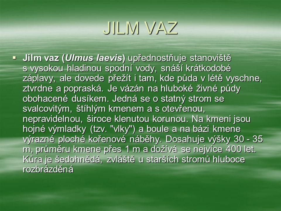 JILM VAZ  Jilm vaz (Ulmus laevis) upřednostňuje stanoviště s vysokou hladinou spodní vody, snáší krátkodobé záplavy, ale dovede přežít i tam, kde půd