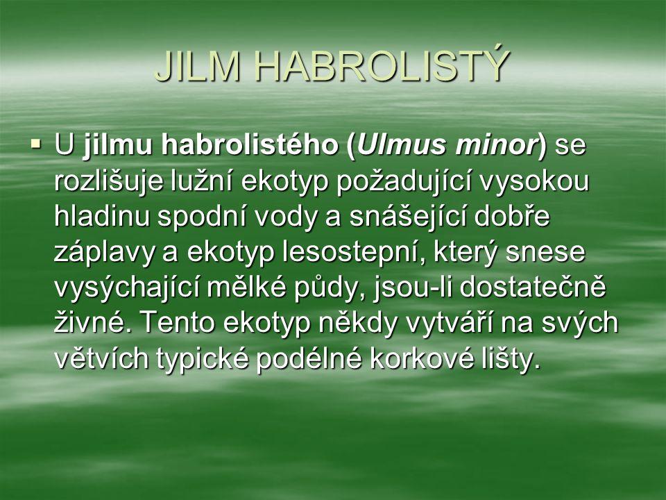 JILM HABROLISTÝ  U jilmu habrolistého (Ulmus minor) se rozlišuje lužní ekotyp požadující vysokou hladinu spodní vody a snášející dobře záplavy a ekotyp lesostepní, který snese vysýchající mělké půdy, jsou-li dostatečně živné.