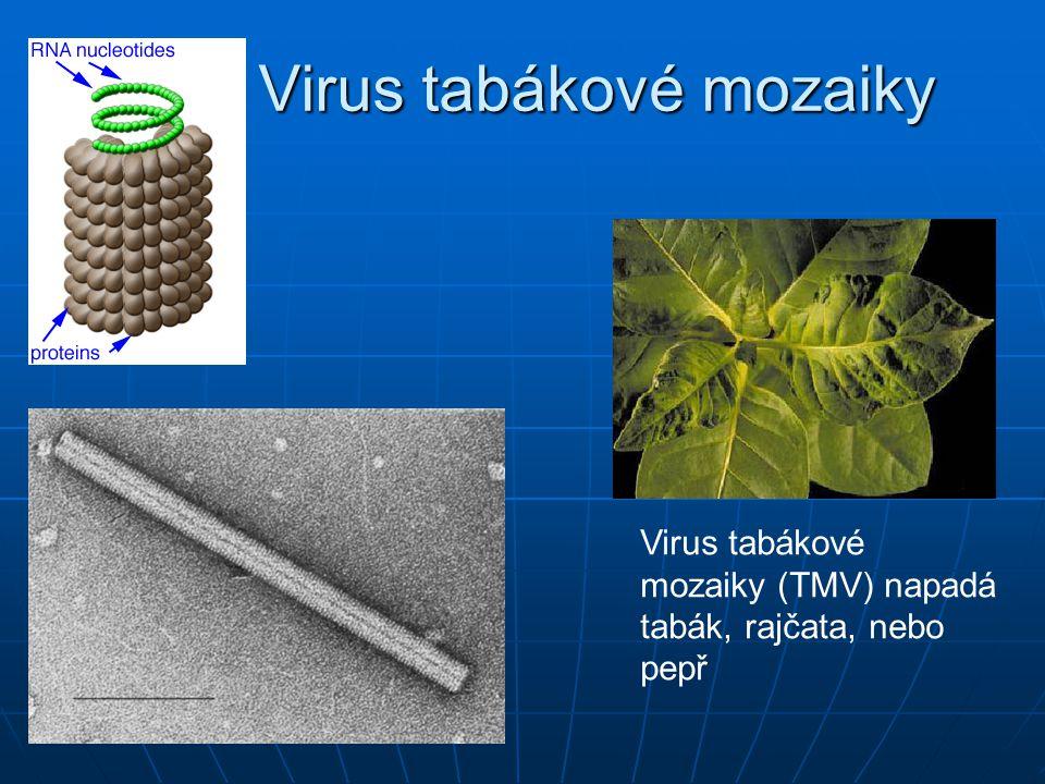 Reprodukční cyklus Jakmile jsou jednou všechny části potřebné pro sestavení nových virů vytvořeny, dochází k jejich spontánnímu seskládání Jakmile jsou jednou všechny části potřebné pro sestavení nových virů vytvořeny, dochází k jejich spontánnímu seskládání Pokud se např.