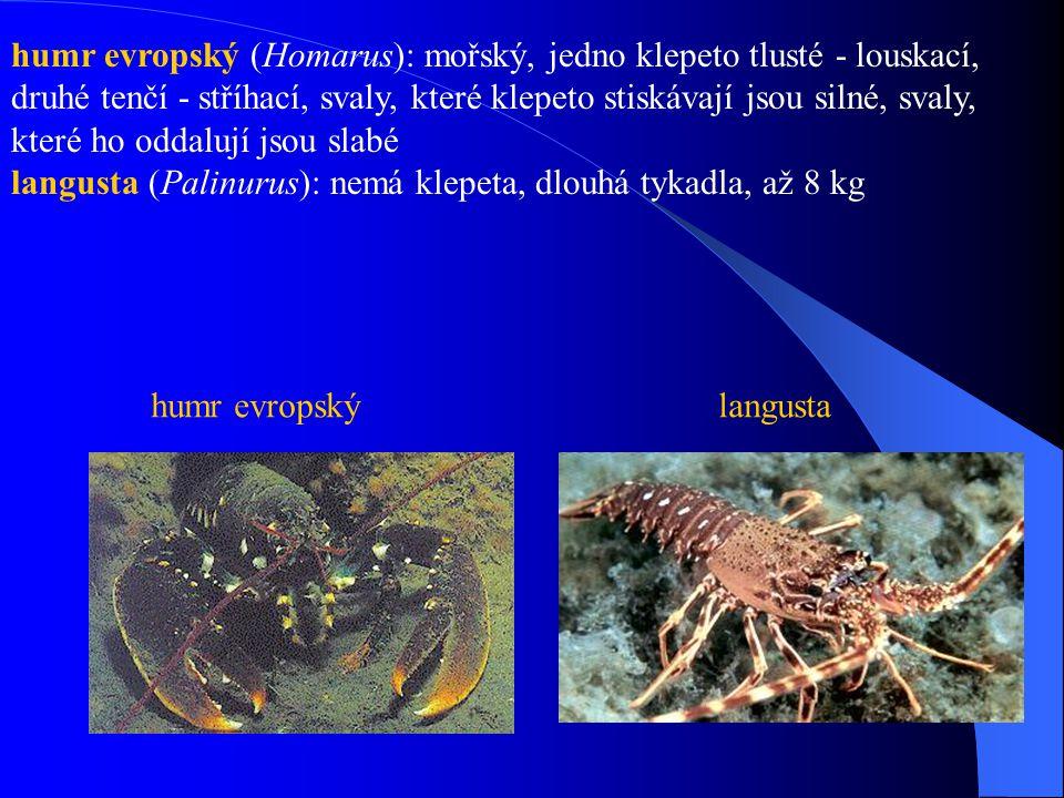 humr evropský (Homarus): mořský, jedno klepeto tlusté - louskací, druhé tenčí - stříhací, svaly, které klepeto stiskávají jsou silné, svaly, které ho