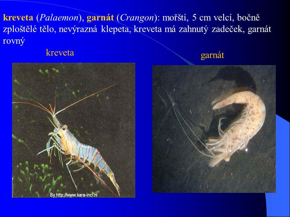 kreveta (Palaemon), garnát (Crangon): mořští, 5 cm velcí, bočně zploštělé tělo, nevýrazná klepeta, kreveta má zahnutý zadeček, garnát rovný kreveta ga