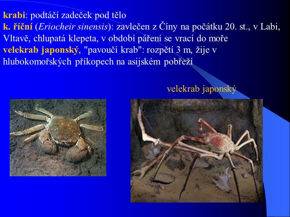 krabi: podtáčí zadeček pod tělo k. říční (Eriocheir sinensis): zavlečen z Číny na počátku 20. st., v Labi, Vltavě, chlupatá klepeta, v období páření s