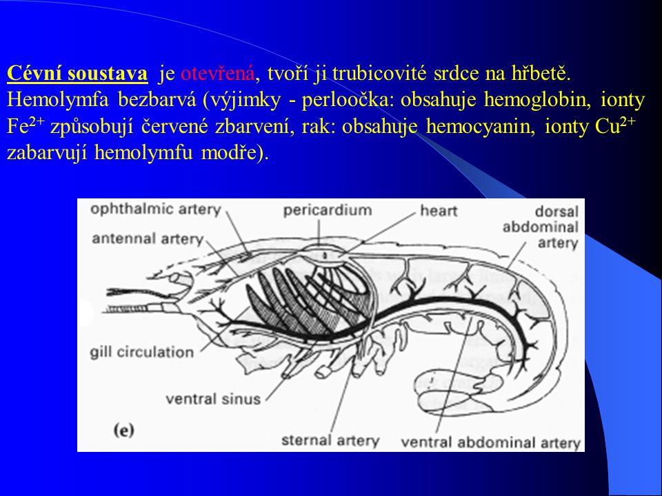 Cévní soustava je otevřená, tvoří ji trubicovité srdce na hřbetě. Hemolymfa bezbarvá (výjimky - perloočka: obsahuje hemoglobin, ionty Fe 2+ způsobují